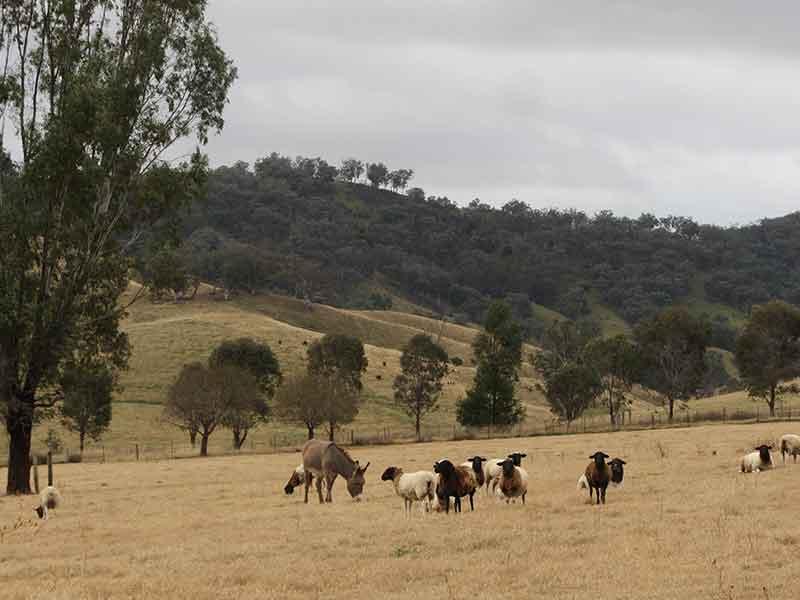 Hunter Natural Farm sheep